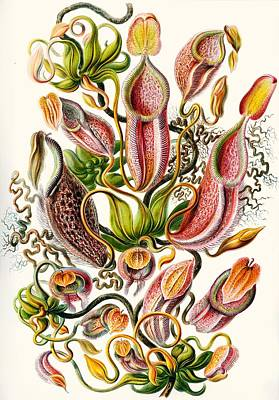 Tendrils Drawing - A Collection Of Nepenthaceae by Ernst Haeckel