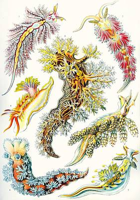 Microscopic Drawing - A Collection Of Nudibranchia by Ernst Haeckel