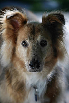 Captive Animal Photograph - A Collie And Golden Retriever Mix Dog by Al Petteway & Amy White