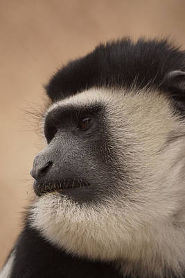 Photograph - A Colobus Monkey by Ernie Echols
