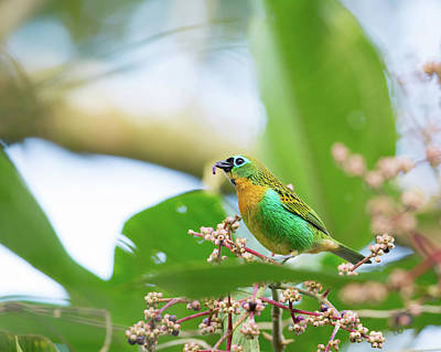 Photograph - A Colorful Brassy-breasted Tanager by Alex Saberi