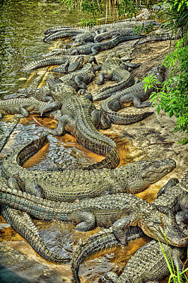 A Congregation Of Alligators Print by Rona Schwarz