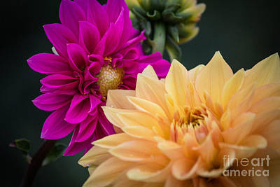 Photograph - A Conversation Among Dahlias by Patricia Babbitt
