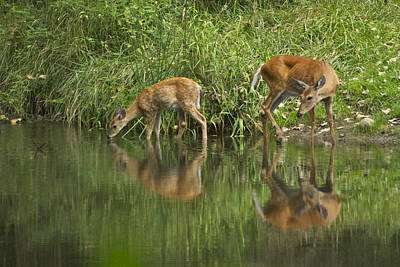 Whitetail Photograph - A Cool Drink by Michael Peychich
