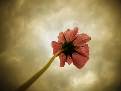 Photograph - A Cosmos Kind Of Day by Diannah Lynch