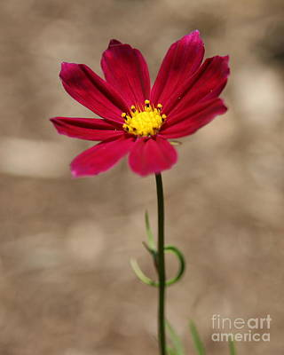 Photograph - A Cosmos Stand  by Neal Eslinger
