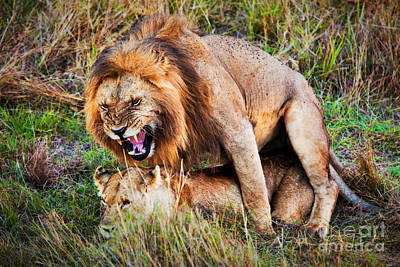 African Sex Photograph - A Couple Of Lions Breed On Savanna Serengeti. Tanzania. Africa by Michal Bednarek