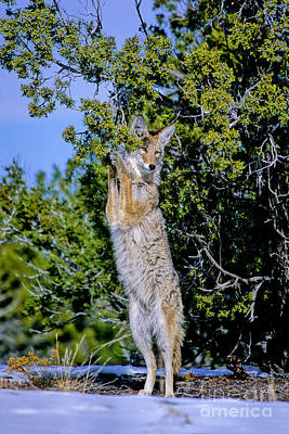 Photograph - A Coyote Stands To Eat by Martha Marks