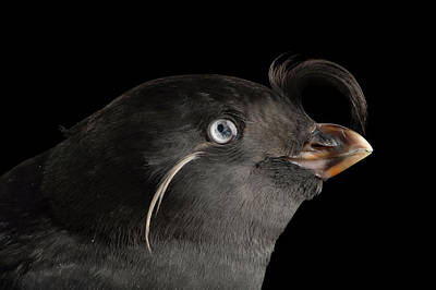 Auklets Wall Art - Photograph - A Crested Auklet, Aethia Cristatella by Joel Sartore