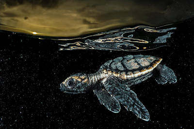 Turtle Photograph - A Critically Endangered Hawksbill Sea by David Doubilet