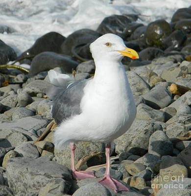 Photograph - A Curious Seagull by Chalet Roome-Rigdon