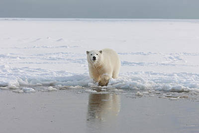 A Curious Young Polar Bear Plays Art Print by Hugh Rose