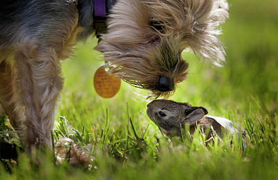 Pet Care Photograph - A Cute Yorkie Dog Sniffing A Little by Joey Hayes