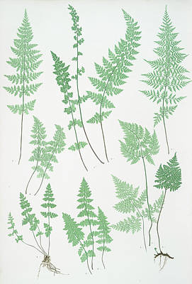 Vegetation Drawing - A. Cystopteris Fragilis. B. C. Regia. C. C by Litz Collection