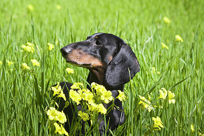 Dachshund Photograph - A Dachshund In A Field With Yellow by Zandria Muench Beraldo