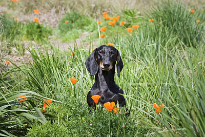 Dachshund Photograph - A Dachshund Sitting In A Field by Zandria Muench Beraldo