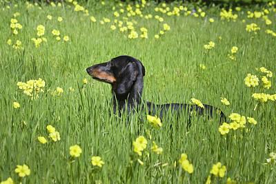 Dachshund Photograph - A Dachshund Standing In A Field by Zandria Muench Beraldo