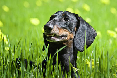 A Dachshund Standing In Field Art Print