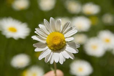 Nature Photograph - A Daisy A Day by Zachary Hunter