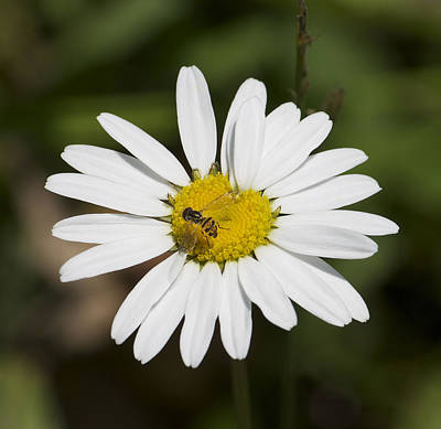 Photograph - A Daisy Lunch by Kathleen Scanlan