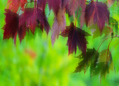 Photograph - A Dance Of Maple Leaves by Jim Vance