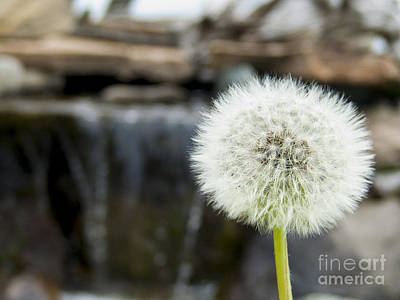 Maps Maps And More Maps - A Dandelion with waterfalls in behind by Adam Van Spronsen