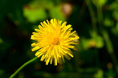 Photograph - A Dandelion's Guest by Tikvah's Hope