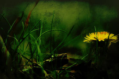 Photograph - A Darkness Befalls The Dandelion by Rebecca Sherman