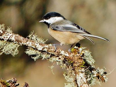 Photograph - A Darling Chickadee by VLee Watson