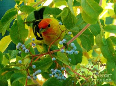 Photograph - A Day With Mr. Tanager 3 by Jacquelyn Roberts