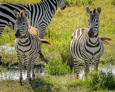 Wall Art - Photograph - A Dazzle Of Zebras by Adrian O Brien