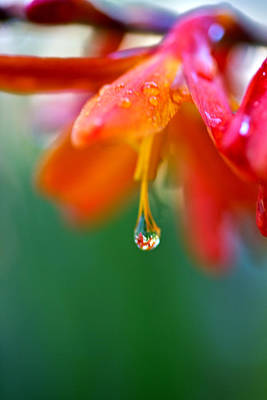 Photograph - A Delicate Touch - Water Droplet - Orange Flower by Marie Jamieson