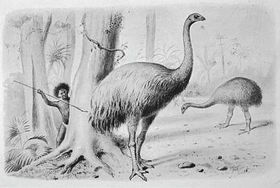Moa Photograph - A Dinornis Giganteus (giant  Moa) by Mary Evans Picture Library