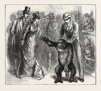 Gorilla Drawing - A Distinguished Visitor At Liverpool, The Young Gorilla by English School