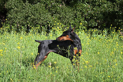 A Doberman Pinscher Looking Art Print by Zandria Muench Beraldo