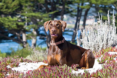 Doberman Pinscher Photograph - A Doberman Pinscher Lying In The White by Zandria Muench Beraldo