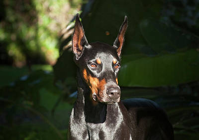Doberman Pinscher Wall Art - Photograph - A Doberman Pinscher Standing In A Sunny by Zandria Muench Beraldo