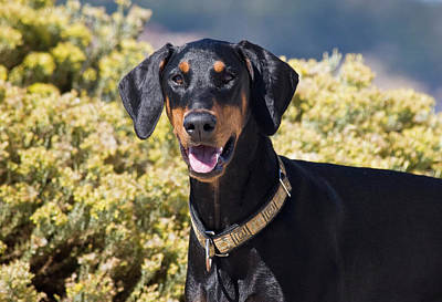 Doberman Pinscher Photograph - A Doberman Pinscher Standing In Front by Zandria Muench Beraldo