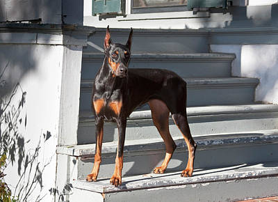 A Doberman Pinscher Standing On Stairs Art Print by Zandria Muench Beraldo