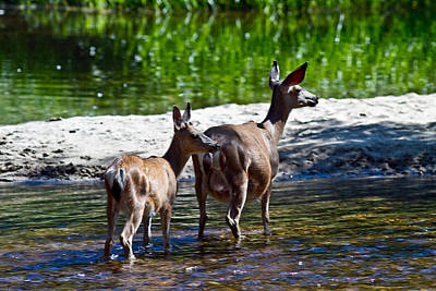 Art Print featuring the photograph A Doe And Fawn by Brian Williamson
