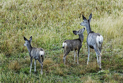Photograph - A Doe And Her Fawns - Yellowstone by Belinda Greb