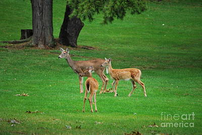 Photograph - A Doe And Her Twin Fawns by Bob Sample
