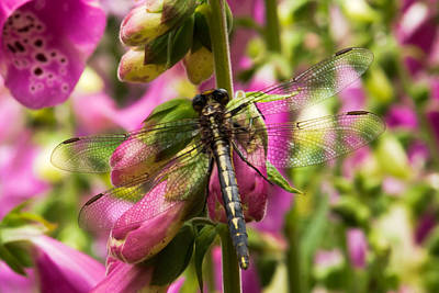 A Dragon Fly Resting In A Forest Of Foxgloves Art Print by Thomas Pettengill