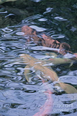 Photograph - A Dream Of Koi by Tim Good
