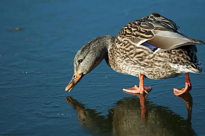 Anas Platyrhynchos Photograph - A Duck On Ice The Mallard Is A Dabbling by Richard Wright
