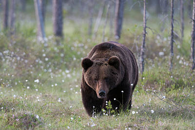 Photograph - A European Brown Bear, Ursus Arctos by Sergio Pitamitz