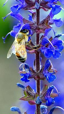 Photograph - A European Honey Bee And It's Flowers by Carol Montoya