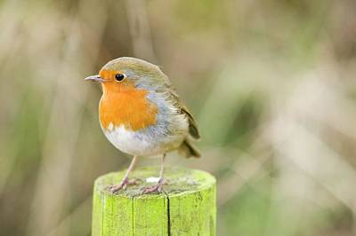 Red-breasted Robin Photograph - A European Robin by Ashley Cooper
