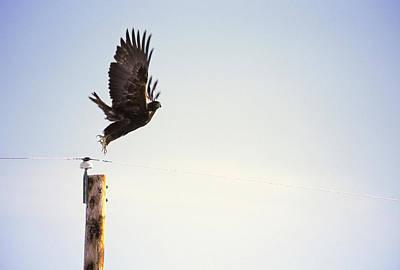 Falcons Wall Art - Photograph - A Falcon Takes To The Air by Heath Korvola