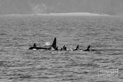 A Family Of Orcas Art Print
